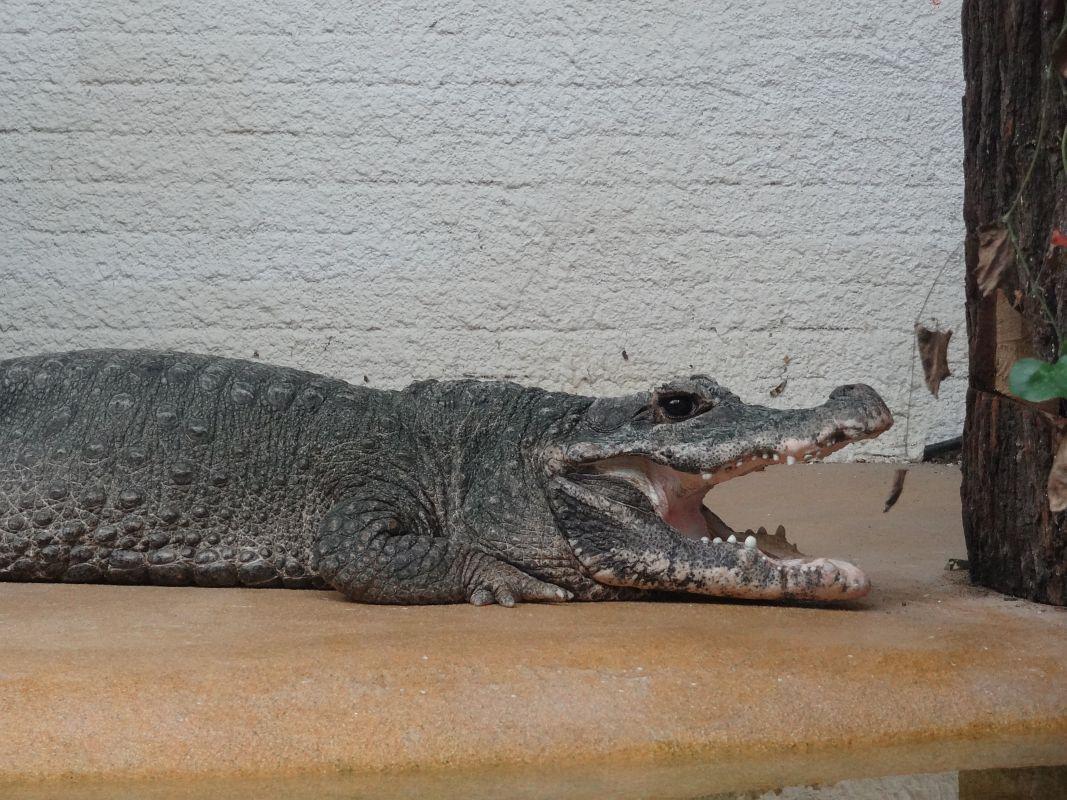 krokodil steckbrief grundschule